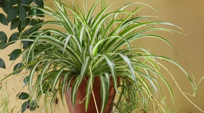 Berbagai tanaman yang diyakini bisa membersihkan udara dalam ruangan.
