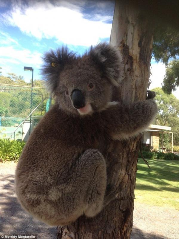 Carolina, koala kehausan yang kembali dilepaskan ke alam liar setelah menjalani tes kesehatan. (Merridy Montarello)