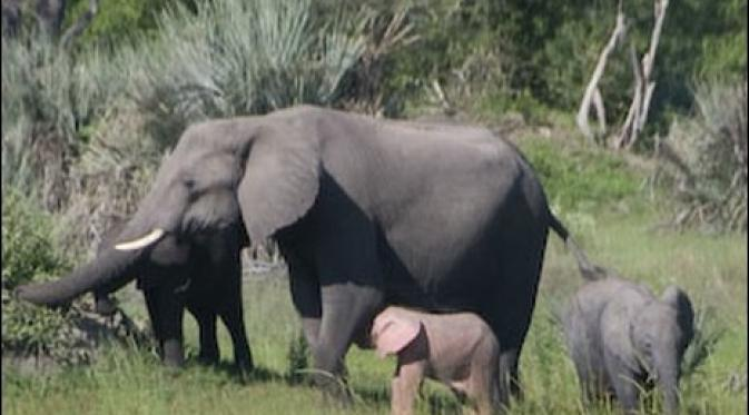 Bayi Gajah Berwarna Merah Muda Global Liputan6 Com